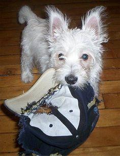 West Highland White Terrier - Westie