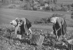 Kopanie zemiakov v Štefanovej - stará fotografia   Terchová kedysi Old Photography, European Destination, Europe Travel Tips, Explore, Retro, Gardens, Polish, Life, Costumes