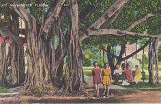 Here is a vintage postcard of the banyan tree in Florida. It is unused and in good condition.