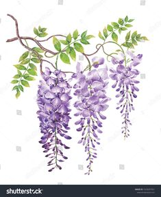 Wisteria with watercolor painting.Hand drawn on white background. Illustration for various tasks such as greeting cards,love card. birthday cards, or different print jobs. Folk Art Flowers, Flower Art, Art Floral, Watercolor Flowers, Watercolor Paintings, Art Et Nature, Wisteria, Wall Art Designs, Botanical Art