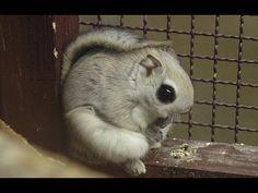 I found my new favorite animal. The Japanese Dwarf Flying Squirrel! Nature Animals, Felt Animals, Baby Animals, Cute Animals, Japanese Dwarf Flying Squirrel, Weird Looking Animals, Elephant Shrew, Squirrel Girl, Animal Magic