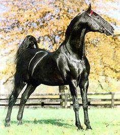 American Saddlebred  #horses #breeds #Saddlebred  More info at: http://www.extension.org/pages/11276/light-horse-breed-american-saddlebred