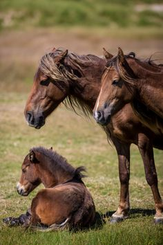 *Feral horses on Sable Island National Park in Novia Scotia, Canada