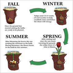 Tulip care - digging up and replanting