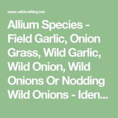 Allium Species - Field Garlic, Onion Grass, Wild Garlic, Wild Onion, Wild Onions Or Nodding Wild Onions - Identification & Pictures. Edible & Medicinal Foraging Guide
