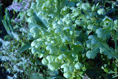 Looking for another underused perennial for your spring plantings?   Go heads over Hellebores and plant away!