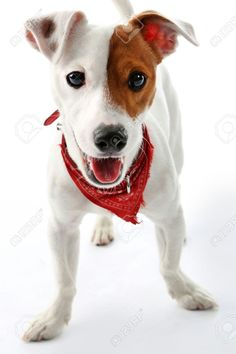 "Képtalálat a következőre: ""jack russel terrier bandanas"" Mixed Breed Puppies, Dogs And Puppies, Doggies, Jack Russell Puppies, Parson Russell Terrier, Rat Terriers, Baby Dogs, Dog Shirt, My Animal"