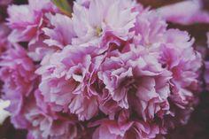 geometre18:  Cerisier Japonais en fleurs  #pariscartepostale...