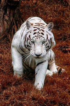 Stunning white tiger