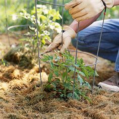 """How to Successfully Plant and Grow Tomatoes. """"After the soil has warmed, mulch plants with a 2- to 3-inch-thick layer of organic mulch, such as straw or finely shredded wood chips, to prevent weeds and to maintain soil moisture."""""""
