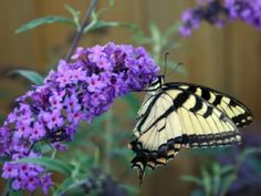 When you plant your flowers for butterflies, don't bunch them up tightly, let the air flow through them and have areas in between the flowers for the butterflies to get their water and sit in the sun. Make it a colorful display of flowers since butterflies are attracted to certain colors. The favorite colors are red, pink, purple, yellow and orange. Butterflies like to land or perch on flowers, so they like the types of flowers that are flat open flowers. Pruning Butterfly Bush, Butterfly Bush Care, Black Knight Butterfly Bush, Butterfly Garden Plants, Plants That Attract Butterflies, Butterfly Weed, Planting Flowers, Butterfly Flowers, Purple Butterfly