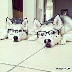 hipster husky - so cute! **I absolutely ❤ me some husky pups, my all time favorite breed! Animals And Pets, Baby Animals, Funny Animals, Cute Animals, Cute Puppies, Cute Dogs, Dogs And Puppies, Doggies, Baby Dogs
