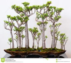 Crassula Forest As Bonsai - Download From Over 60 Million High Quality Stock Photos, Images, Vectors. Sign up for FREE today. Image: 16116078