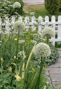 white cottage garden & picket fence with aquilegias, alliums Beautiful Gardens, White Flowers, White Cottage, Flowers, Country Gardening, Moon Garden, White Gardens, Garden Design, Cottage Garden