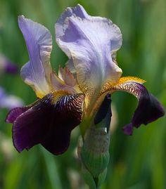 A beautiful older iris variety   Flickr – Condivisione di foto!