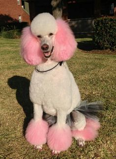 "-Repinned- ""Paris"" the poodle in her tutu."