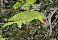 Red-crowned Parrot (Amazona viridigenalis) by Arman Moreno, via Flickr