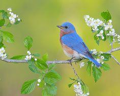 Eastern Bluebird 8x10 Wildlife Photography Blue por NatureIsArt