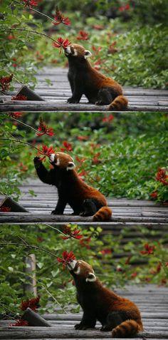 Red Pandas always put others first. Red Pandas always put others first. Nature Animals, Animals And Pets, Baby Animals, Funny Animals, Cute Animals, Beautiful Creatures, Animals Beautiful, Photo Chat, Spirit Animal