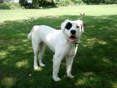 long-haired (bear-coated) american bulldog
