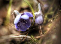 #przylaszczka #spring #mazury #poland