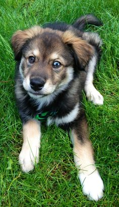 Golden Retriever 19 Breathtaking Husky and Golden Retriever Mixes Mix Cross Breed Goberian Goberians BowWow Times Crossed Cute Siberian Huskies Puppy Obedience Training, Best Dog Training, Training Tips, Training Videos, Potty Training, Golden Retriever Mix, Retriever Puppy, Golden Retrievers, Labrador Retrievers
