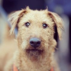 Abby, Irish Terrier, Union Square