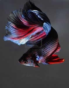 Some interesting betta fish facts. Betta fish are small fresh water fish that are part of the Osphronemidae family. Betta fish come in about 65 species too! Pretty Fish, Beautiful Fish, Animals Beautiful, Beautiful Boys, Betta Tank, Fish Tank, Colorful Fish, Tropical Fish, Poisson Combatant