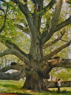 A King Oak, Tullamore, Ireland