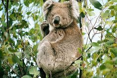 Koalas Listed as Threatened Species - Iconic koalas in parts of Australia have been listed for the first time as a threatened species, due to the combined threats of habitat loss, disease and climate change, Australian government officials said. According to The Guardian newspaper, koala populations were hunted to near extinction for their fur in parts of Australia, although populations have rebounded somewhat.