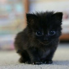 Minik bitty kara kedicik ♡  Wittle bitty black kitty ♡