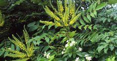 mahonia japonica - Google Search