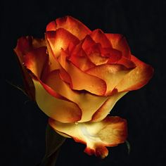 roses have to be the most intimate of all All Plants, House Plants, Pink Carnations, Orange Aesthetic, Draw On Photos, Hybrid Tea Roses, Beautiful Bollywood Actress, Orange Roses, All Nature