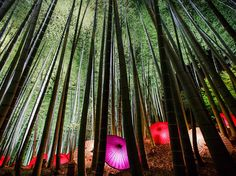 Illuminated Paper Umbrellas and Bamboo Trees Image, Japan - National Geographic