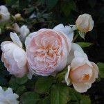 Ambridge-Rose.jpg