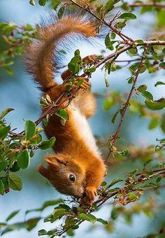 Wahre Kletterkünstler diese niedlichen Eichhörnchen!