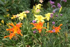 Daylily 'Screamcicle' (orange) and Daylily 'Strung Out' (yellow in back) Turtle Rock, Day Lilies, Orange, Yellow, Gardens, Plants, Planters, Tuin, Plant