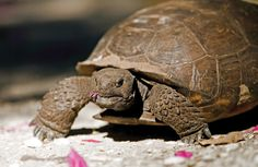The gopher tortoise plays an important role in the lives of many other creatures. Some 300 to 400 species use active or abandoned gopher tortoise burrows, including the threatened indigo snake, gopher frog, burrowing owl, cotton mouse, rattlesnake, coachwhip snake and 32 types of spiders. An excellent excavator, the gopher tortoise digs burrows that have been documented to be as long as 47 feet and more than 18 feet deep.  Accord Real Estate - Vacation Rentals  www.accord-realestate.com