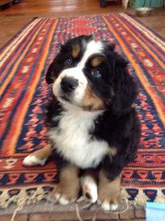 Bernese mountain dog. Her name is Zelda.