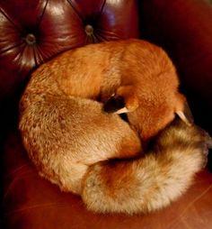 Vintage Taxidermy Sleeping Fox