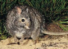 This little fella is the banded hare wallaby. Don't let it's cute looks fool you, these nocturnal wallabies are very aggressive and are also known under an alternative name, the mernine. They can be found in WA and are currently on the endangered list.