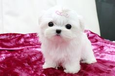 Teacup maltese puppy at Ms puppy connection Micro Teacup Puppies, Chihuahua Puppies For Sale, Puppies And Kitties, Maltese Dogs, Cute Puppies, Cute Dogs, Poodle Puppies, Doggies, Teacup Maltese Puppies