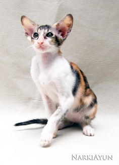 NarkiAyun Odalisca, Black Spotted Torbie & White Oriental Shorthair, female