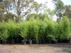 We stock several green running varieties which are very hardy plants. Recommend ed when a plant needs to be grown in a pot in exposed conditions Red Cloud, Hardy Plants, Plant Needs, Hedges, Bamboo, Clouds, Running, Green, Racing