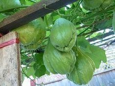 10 edible perennial vines for vertical gardening. Chayote/choko