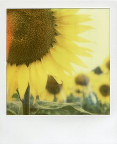 taken by eddyclickapic on PX 70 Cool Film / #sunflowers <3