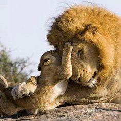 ~lion parent and child