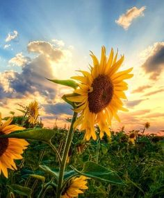Sundlowers image via WallpapersHD