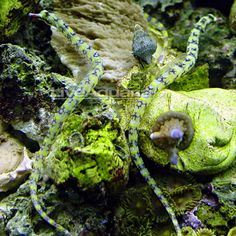 Dragonface Pipefish - I wouldn't mind one of these if I ever thought I could manage the tank! - Claire