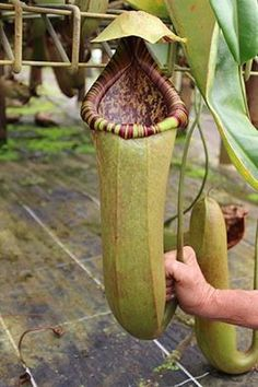 So, as you can see these pitfall traps filled with digestive acids & enzymes, are being hybridized into some ridiculously huge pitchers capable of digesting mammals & birds. (notice the mans hand holding the tendril)